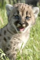 Kitten Crying