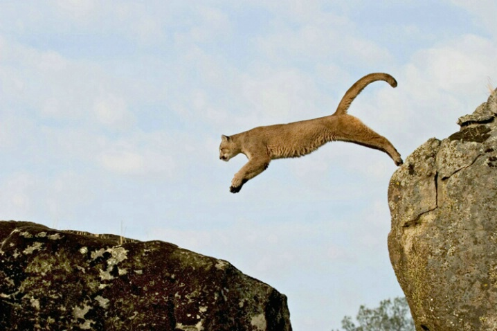 Mt. Lion Leaping - ID: 538364 © Jim Miotke