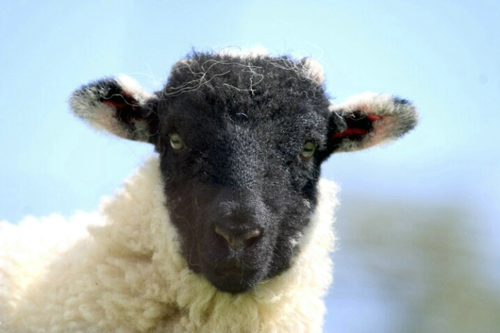 Sheep With Black Face - ID: 538389 © Jim Miotke