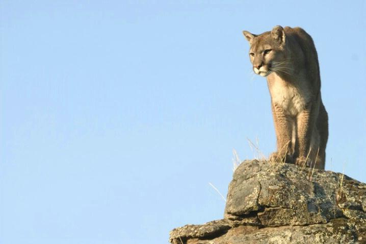 Mt. Lion Rule Of Thirds - ID: 538527 © Jim Miotke
