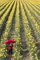 In Daffodils With Red Umbrella