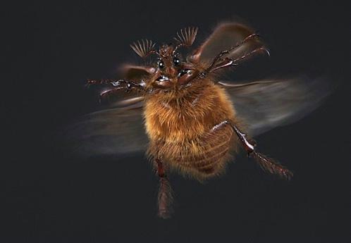 Rain Beetle in Flight