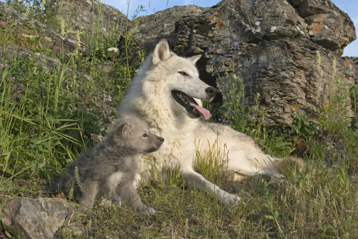Wolf and Pup - ID: 874855 © Jim Miotke