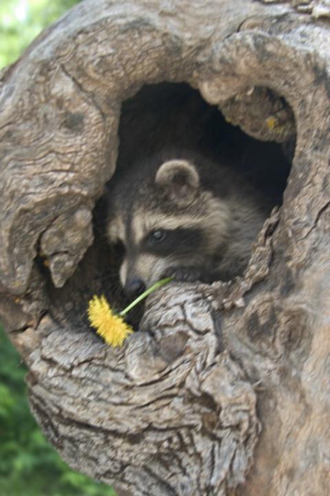 Raccoon with Dandelion - Way Too Blurry