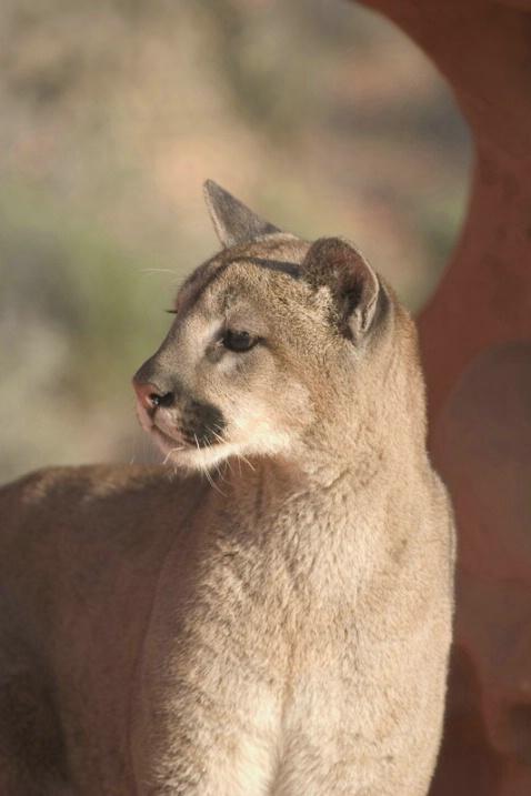 Mountain Lion Profile - ID: 891687 © Jim Miotke