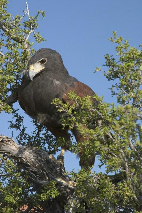 Regal Hawk After Kill - ID: 891844 © Jim Miotke