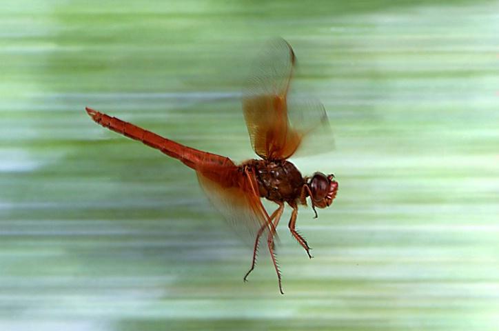 Big Red Skimmer in Flight