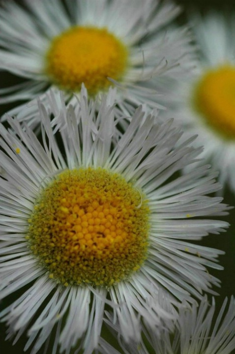 Daisy Fleabane - ID: 908136 © Frieda Weise