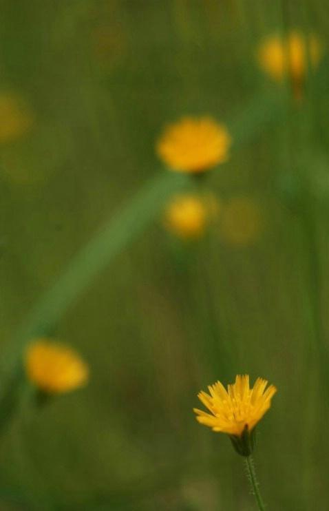 Dwarf Dandelion - ID: 908162 © Frieda Weise