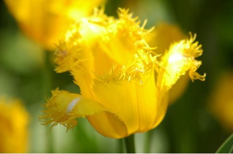 Yellow Fringed-End Tulip