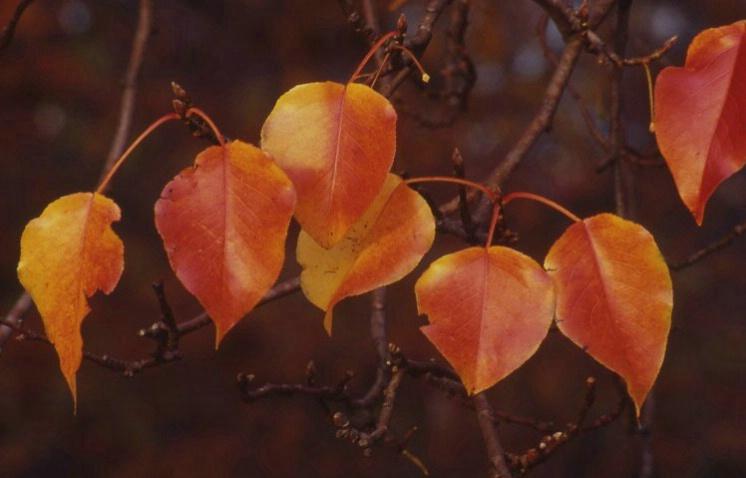 Flaming Leaves - ID: 918815 © Frieda Weise