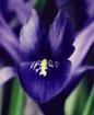 Dwarf Iris With a...