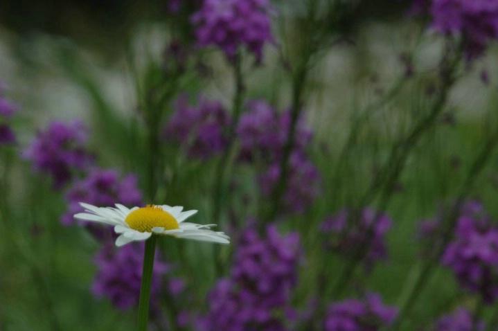 Daisy on Blue - ID: 964445 © Frieda Weise