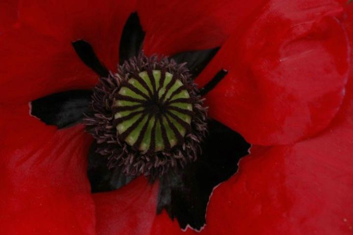 Inside Poppy - ID: 964450 © Frieda Weise