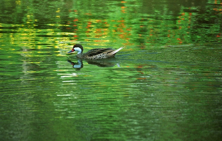 Duck in Coloured Pond