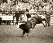 hand full a bull