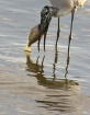 Forida Wood Stork