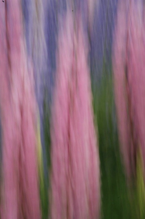 Lupine Motion Abstract - ID: 1541561 © Jim Miotke