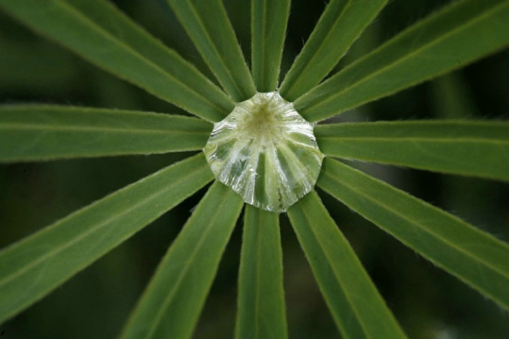 Lupine Sunburst - ID: 1541564 © Jim Miotke