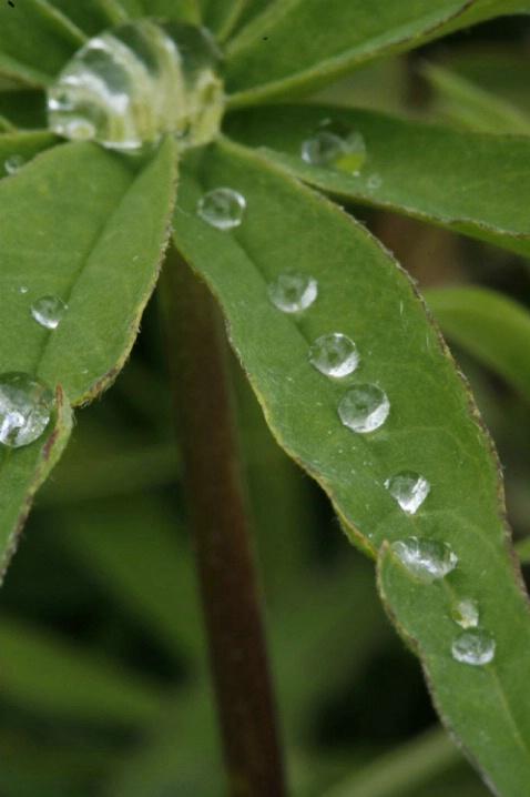 Dew on Lupine Leaves - ID: 1541565 © Jim Miotke