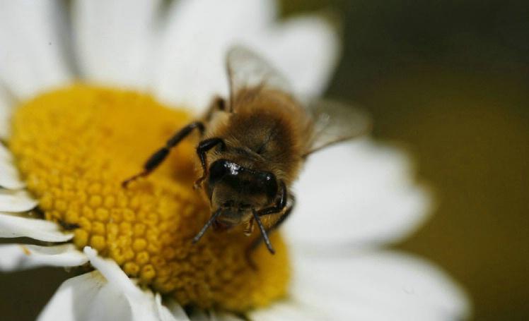 Cute Bee - ID: 1541585 © Jim Miotke