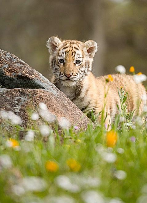 Tiger Cub - ID: 1973906 © Jim Miotke