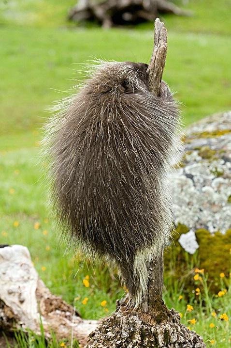 Porcupine Climbing - ID: 1973908 © Jim Miotke