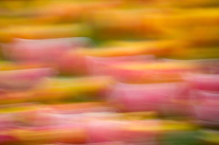 Tulip Sunrise - ID: 1987669 © Jim Miotke