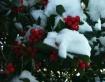 Snow Berries