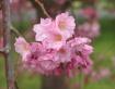 Very Pink Cherry ...