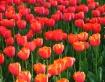 Tulip Row I