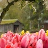 2Tulips, Blossoms, and Barn - ID: 2097271 © Jim Miotke