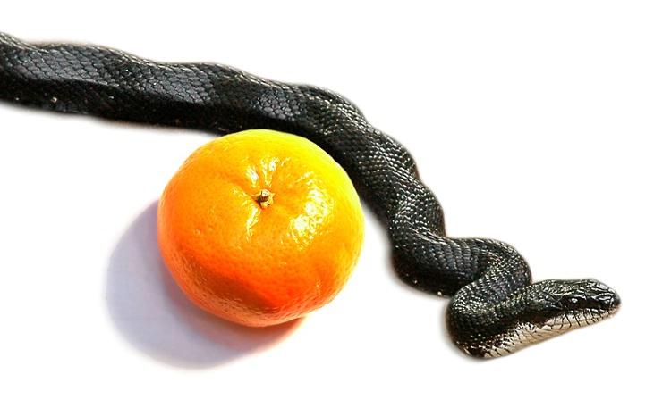 Blacksnake and Orange