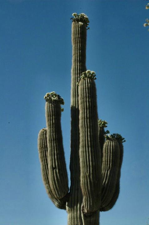 Saguaro II - ID: 2179273 © Frieda Weise