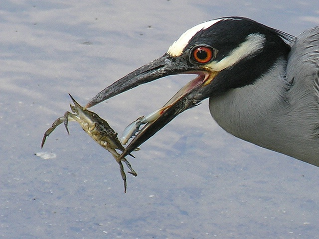 Detail of Heron and Crab