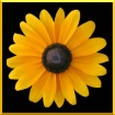 Blackeyed Susan #...