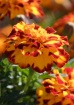 Marigolds #2