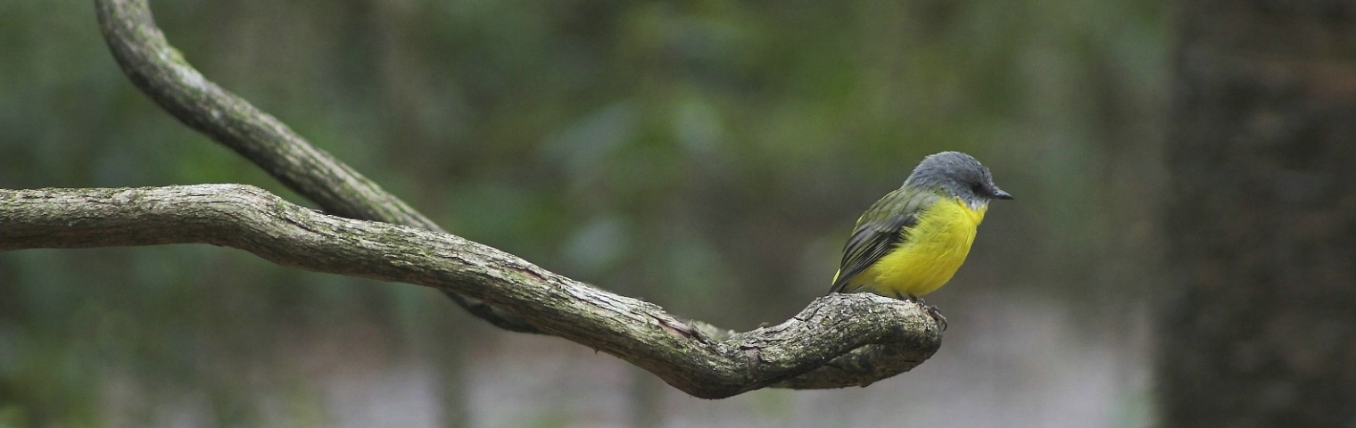 Eastern Yellow Breasted Robin