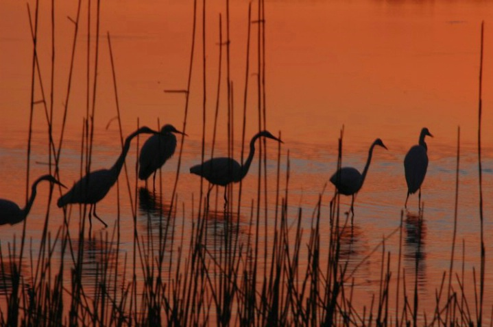 Egret Silhouettes - ID: 2994322 © Frieda Weise