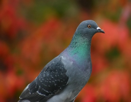 Pigeon Colours