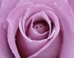 Rose Heart #3