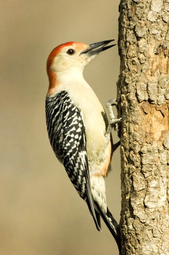 Male Red Bellied Woodpecker 068
