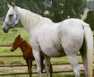 The Old Gray Mare
