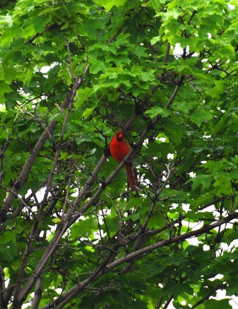 Cardinal in a sea of green