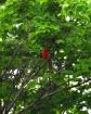 Cardinal in a sea...