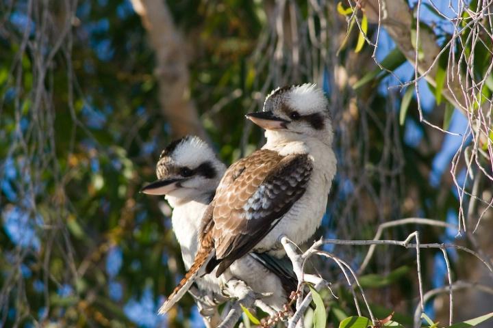 2 kookaburras