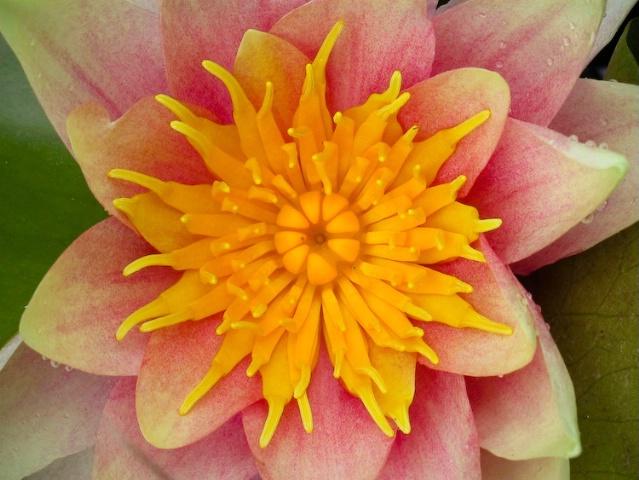 Waterlily detail