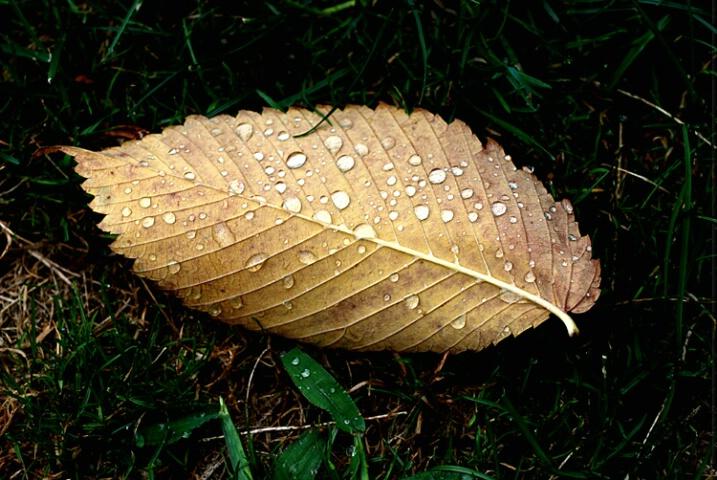 raindrops on dead leaf
