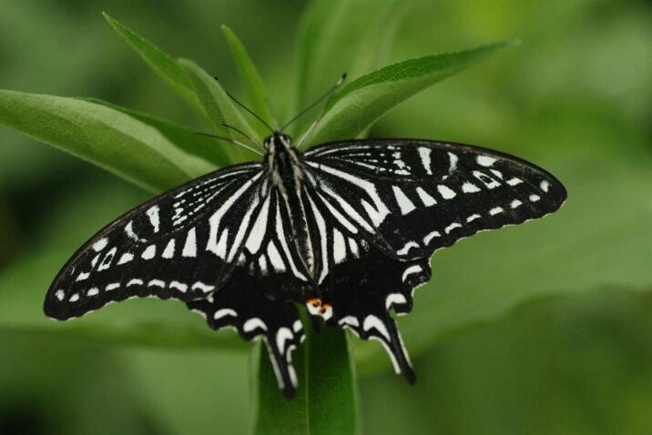 zebra_swallowtail - ID: 4603620 © Frieda Weise