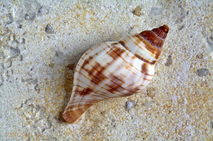 Antiguan Beach Shell